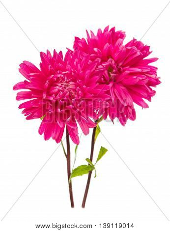 flowers beautiful aster isolated on white background