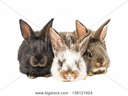 brown, bunnies little rabbits on white background