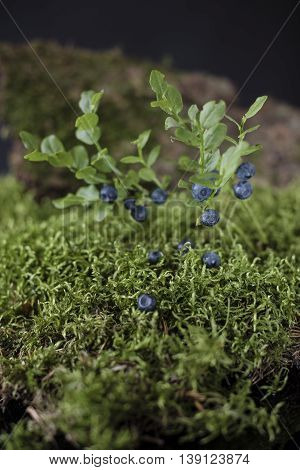 Blueberries on bushes of berries surrounded by green moss