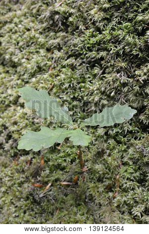 Sessile Oak Tree Sapling - Quercus petraea Growing in Moss