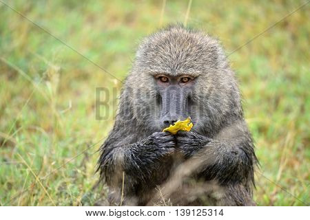 baboon in african natural park
