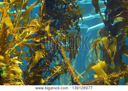 Kelp Plant Forest with fish swimming beyond taken underwater in the Pacific Ocean at the California Coast