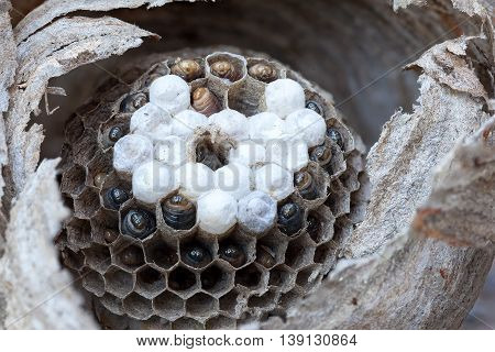 Inside of a yellow jacket wasp nest with larvae and eggs in cells of hive closeup macro