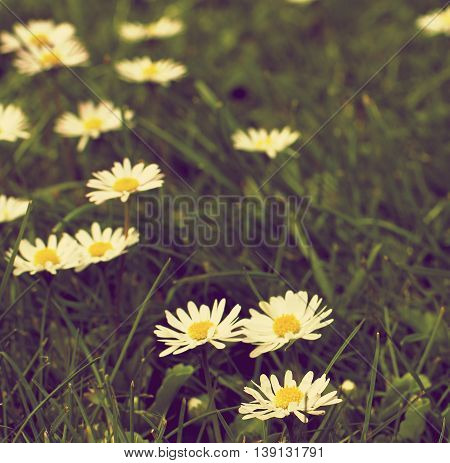 Retro Styled Flowers and Green Grass Field with Fragile Little Camomiles Outdoors. Focus on Foreground