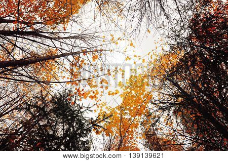 Autumn sky landscape with the yellowed autumn trees extending to the sky - cloudy autumn landscape in foggy weather.