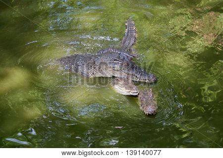 Crocodile in green water lake. Close up