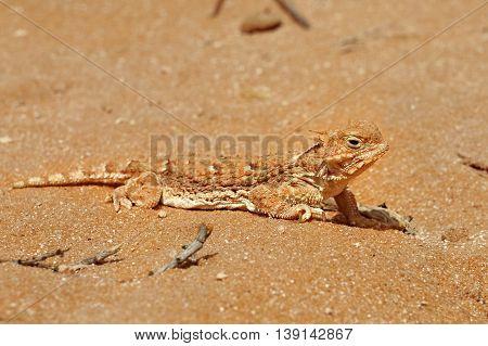 Lizard in the sand desert. Arizona, USA