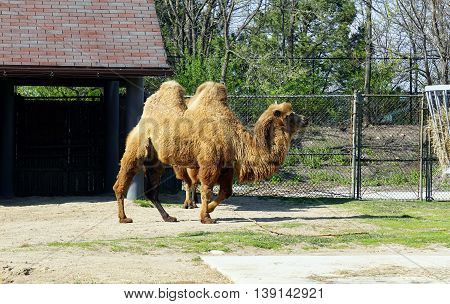 A Bactrian Camel (Camelus bactrianus) walks to the right.