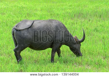 Asian Buffalos (bubalus Bubalis) In Opened Farmland.