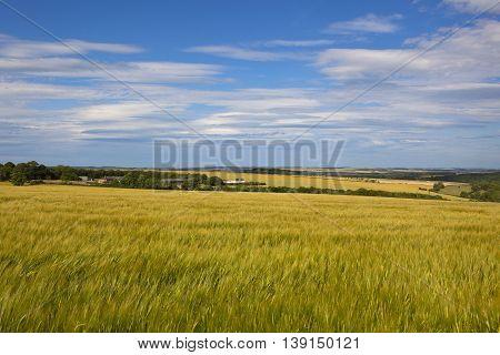 Summer Barley Fields