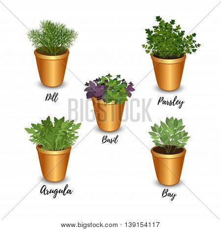 Collection of fresh herbs in pots isolated: bay leaves arugulabasilparsley and dill. Kitchen herbs on a white background vector illustration.