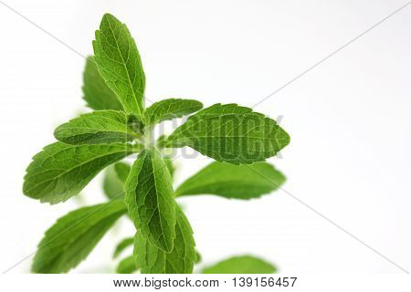 Stevia rebaudiana leaves on white background. Natural sugar grow at home.