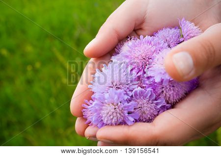 Hands holding bunch of flowers, green grass background. Countryside walk. Florist palms with fresh field asters