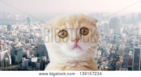 pets, homeless animals and cats concept - close up of unhappy scottish fold kitten over city background