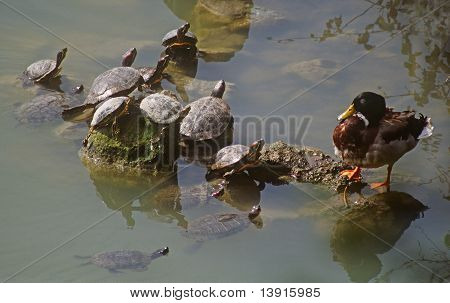 duck and turtles