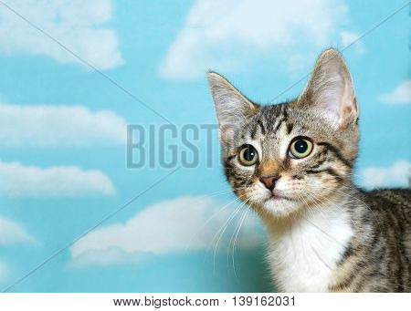 Portrait of a gray white and brown tabby kitten 8 weeks old looking off to the side blue background with white clouds. copy space