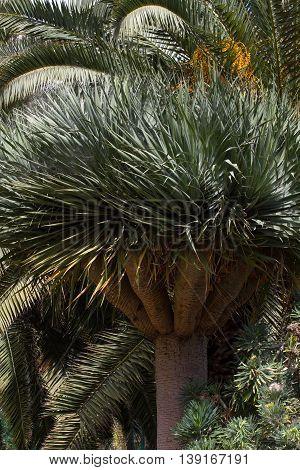 Lonely tree of Dracaena draco. Symbol of Canaries islands