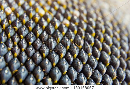 close-up view of sunflower seeds