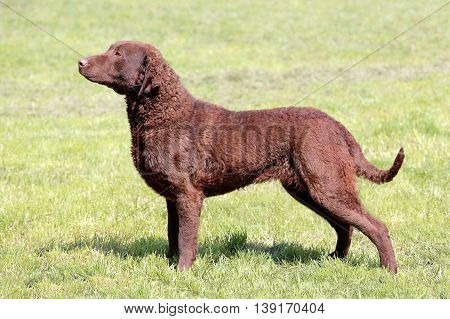 Typical Chesapeake Bay Retriever in the spring garden