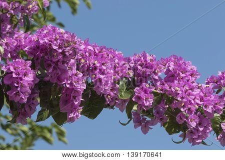 pink bouganvillea in bloom  in the garden