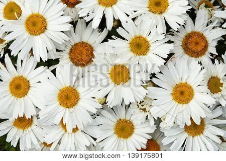 Floral background of camomile (Chamomile) flowers. Texture design. Daisy flowers