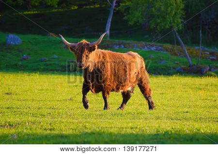 Scotland highland hairy longhorned bull grazing at the green summer meadow, agricultural livestock animal concept