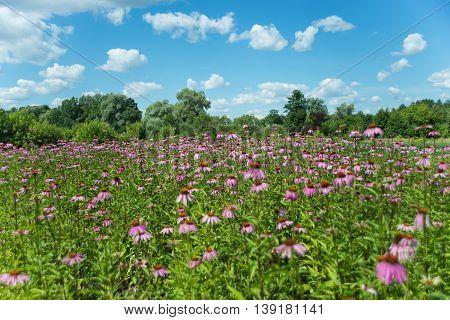Large plantation of medicinal plants Echinacea purpurea outdoors against a blue sky