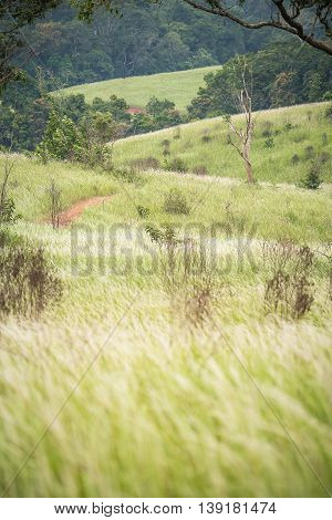 Green hills in vertical with blowing flowering grass from wind inside national park of Thailand.