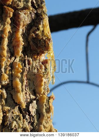 Pine tree resin on the trunk. The drops of resin flow down on the bark