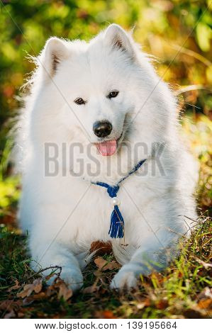 Happy White Samoyed Dog Outdoor in Autumn Forest, Park