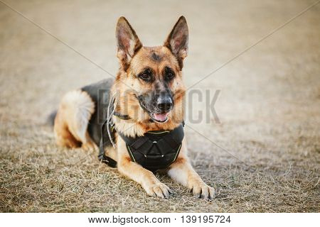 Brown German Sheepdog Sitting On Ground. Guard Dog, Police Dog