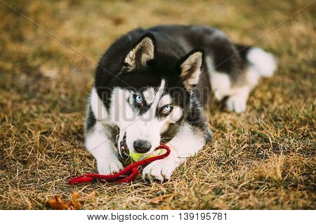 Young Dog Husky Puppy Plays With Her Toy - Tennis Ball In Grass. Outdoor