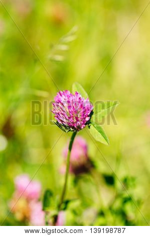 Blooming Wildflowers Of Alsike Clover Or Trifolium Hybridum In Summer Spring Field At Sunset Sunrise. Close Up, At Green Background