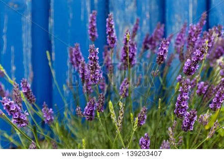 Lavender flowers under paint blue wooden wall