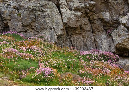 Flowered rocky coastline with Armeria Maritima flowers in Brittany, France