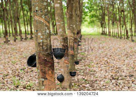 Rubber Tree Plantation.