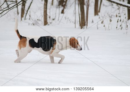 Dog on the winter hunt in a snowy forest