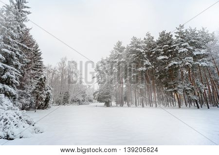 Fir trees under the snow. Winter frosty landscape