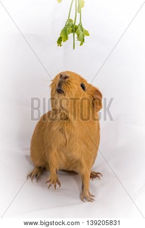 Small orange color Guinea Pig on a white background