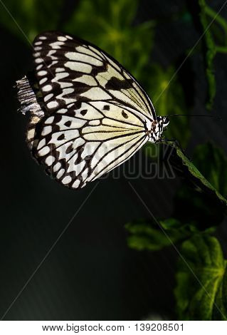 Close up photo of big brown butterfly with white dots on yellow with black wings stand on a grid.