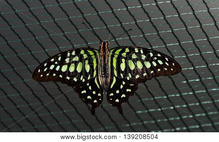 Close up photo of big brown butterfly with green dots on black wings stand on a grid.