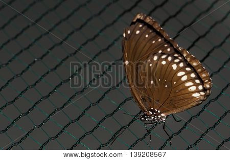 Close up photo of big brown butterfly with white dots on wings stand on a grid.