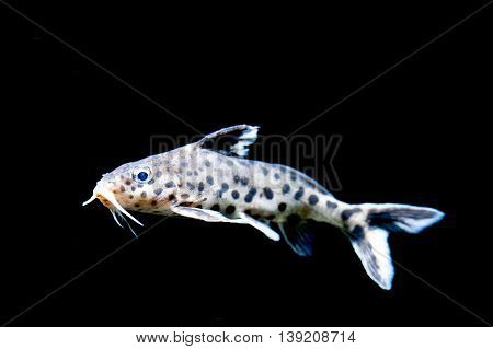 White Sucker Mouth Catfish On Black Isolated