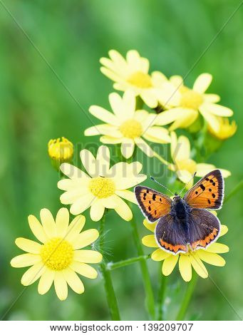 Photo of brown butterfly on yellow flowers in spring over green grass background.