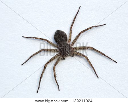 Hairy Spider On A White Painted Background