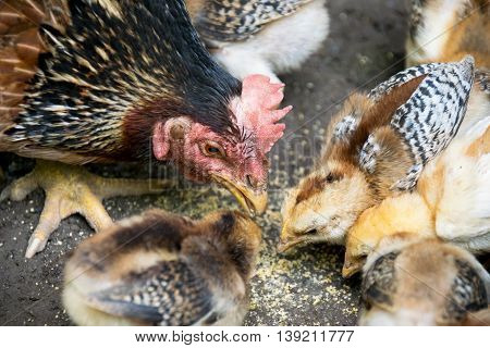 Close Up Hen And Baby Chick Eating