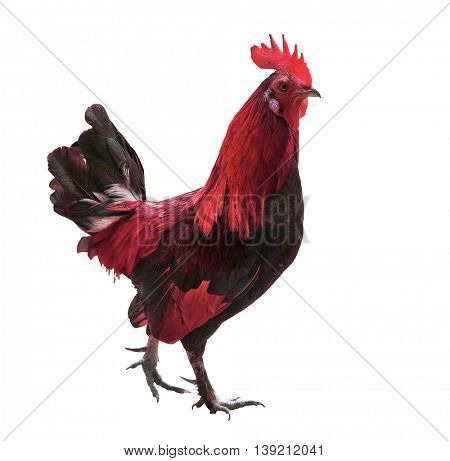 red rooster isolated on white background as animal symbol of Chinese New year 2017