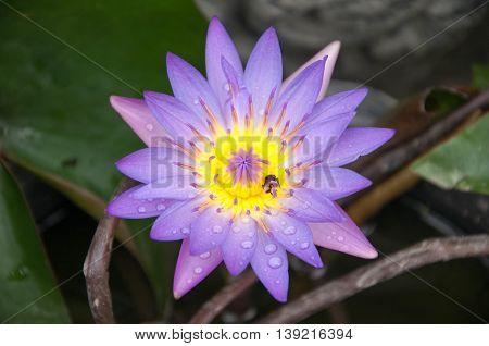 violet Lotus. Violet lotus with bee on pollen.