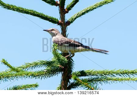 A mocking bird perched in a pine tree.