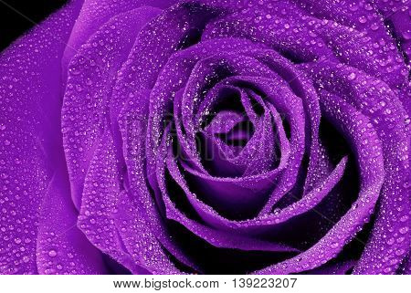 beautiful purple rose detail whit water drops